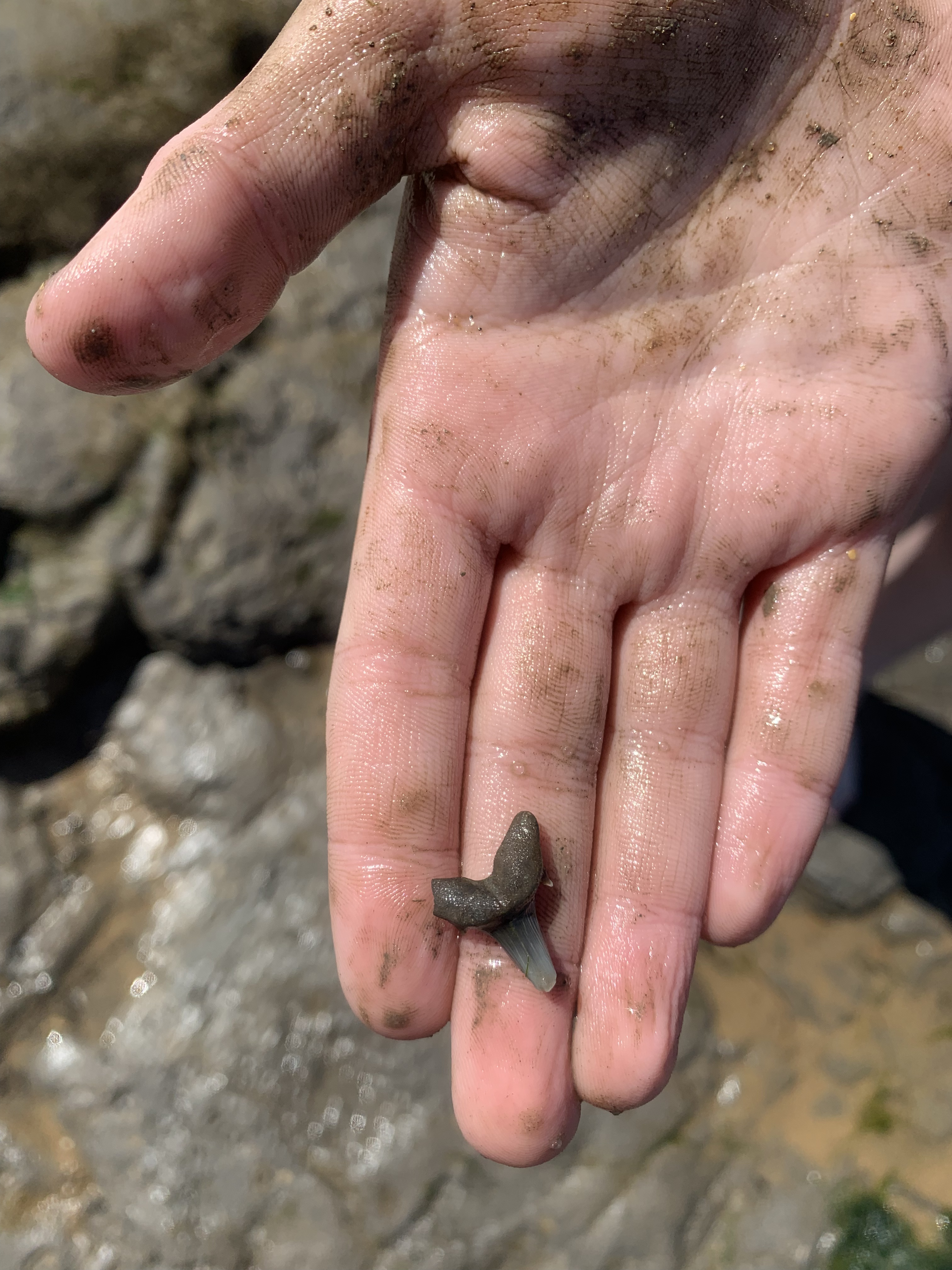 Although this one in East Anglia was a belter, we found a shark tooth!